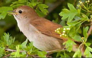 Hear an amazing Nightingale