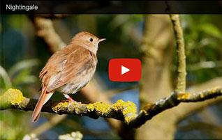 Watch a nightingale singing